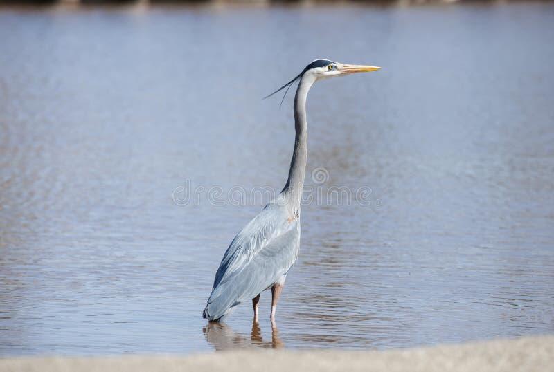 Garça-real cinzenta que procura peixes em uma lagoa de Oklahoma imagem de stock royalty free