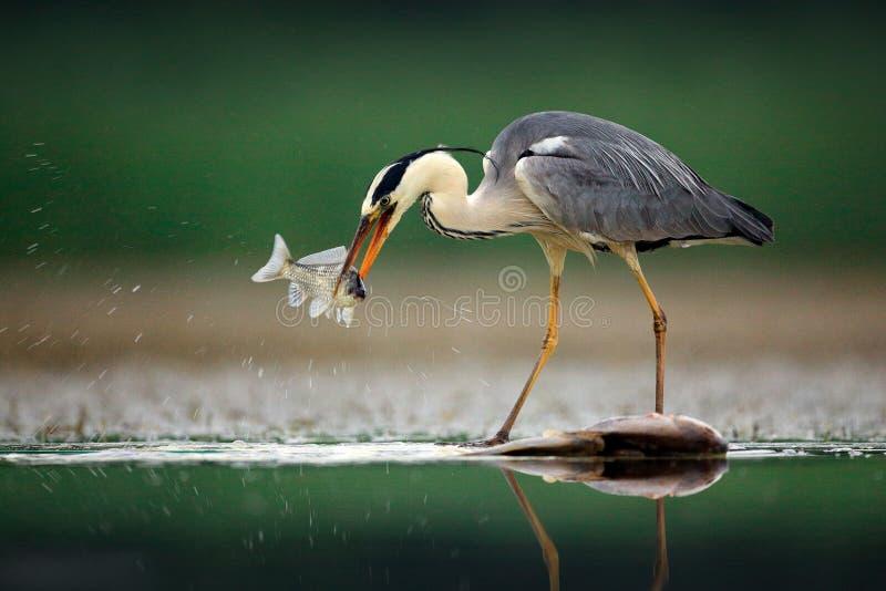 Garça-real com peixes Grey Heron, Ardea cinerea, borrou a grama no fundo Garça-real no lago da floresta Animal no habitat da natu foto de stock
