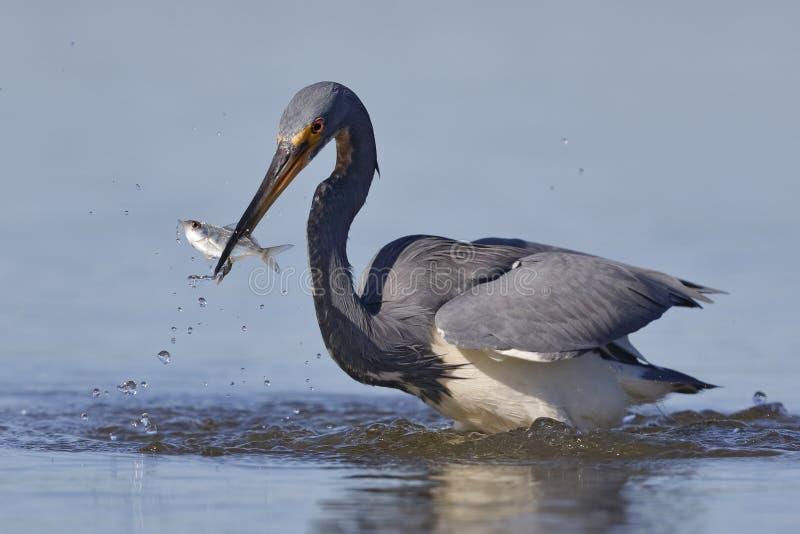 Garça-real com um peixe em seu bico - Florida de Tricolored fotos de stock royalty free