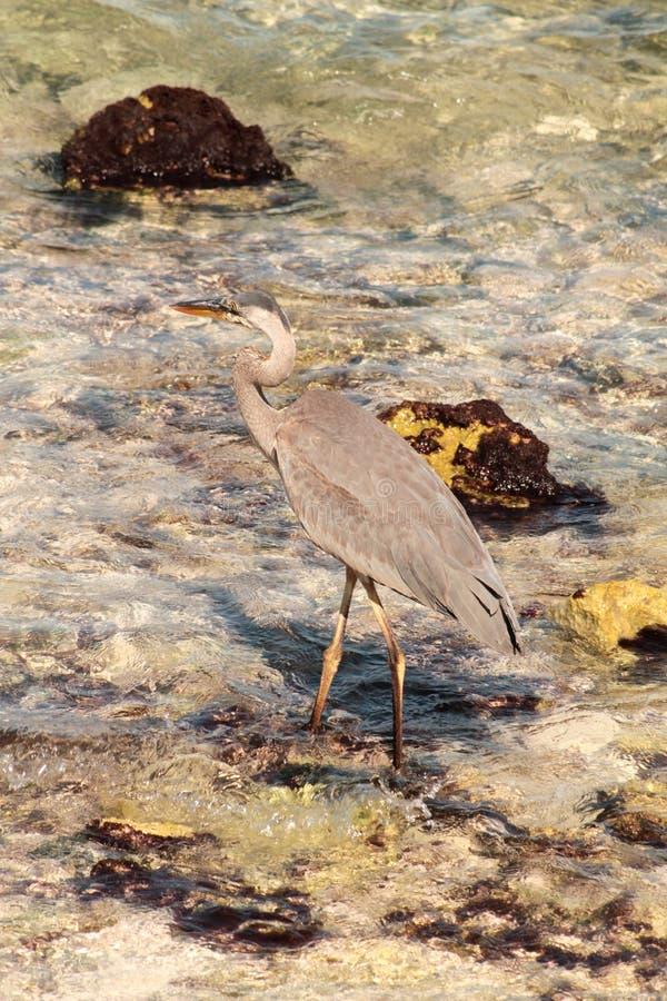 Garça-real comum bonita que anda na água perto de uma praia selvagem imagens de stock royalty free