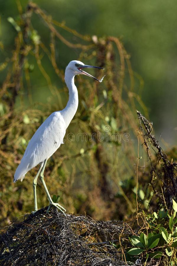 Download Garça-real De Azul Pequeno Adulta (caerulea Do Egretta) O Branco Morph Foto de Stock - Imagem de egret, pouco: 65579436