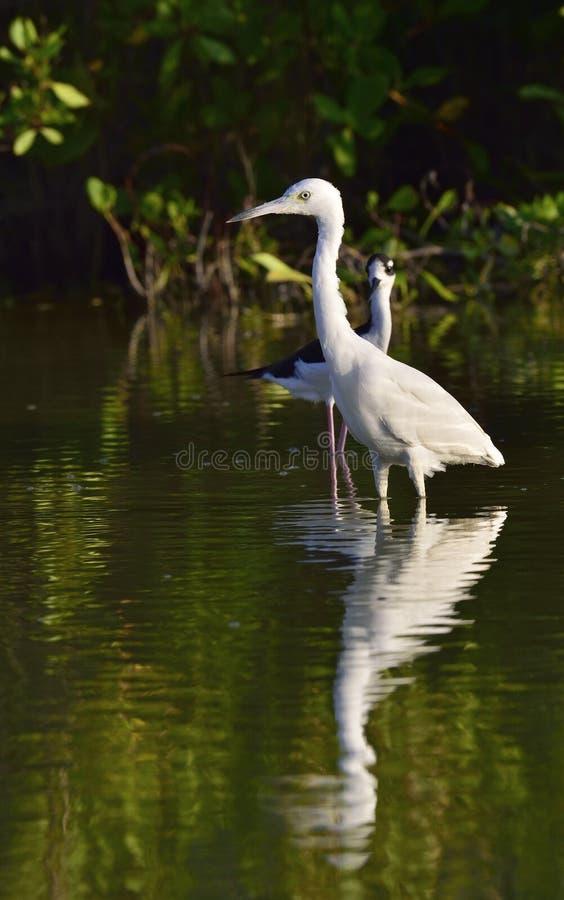 Download Garça-real De Azul Pequeno Adulta (caerulea Do Egretta) (o Branco Morph) Foto de Stock - Imagem de feathery, conta: 65579646