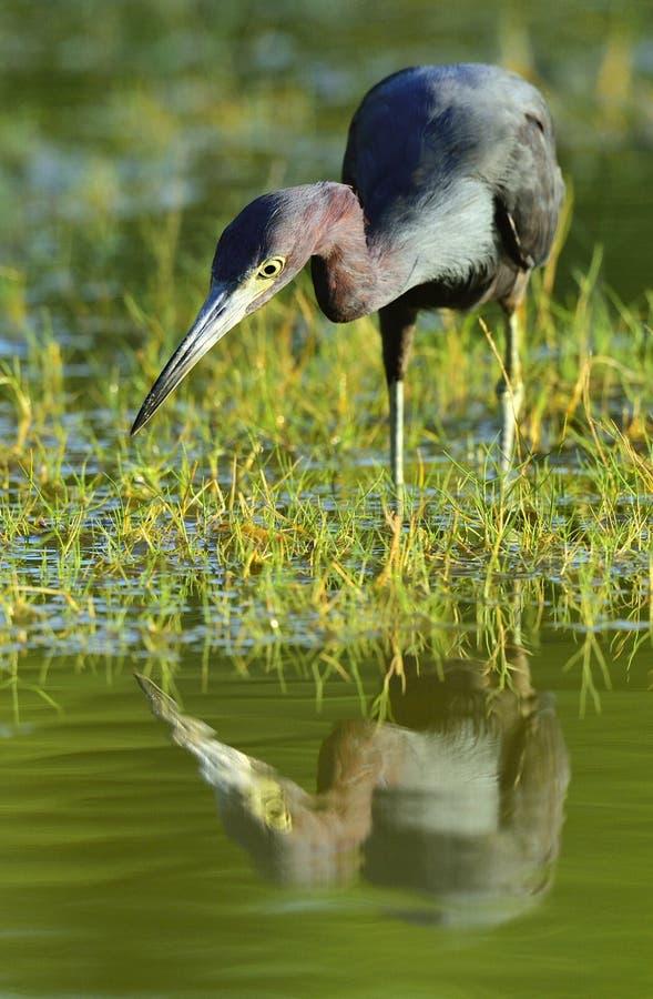 Download A Garça-real De Azul Pequeno (caerulea Do Egretta) Está Pescando Imagem de Stock - Imagem de américa, alimento: 65579563