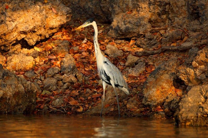 Garça-real de Cocoi, cocoi do Ardea, pássaro com sol da noite, Pantanal, Brasil Pássaro no sol bonito da manhã Lago da natureza d imagens de stock