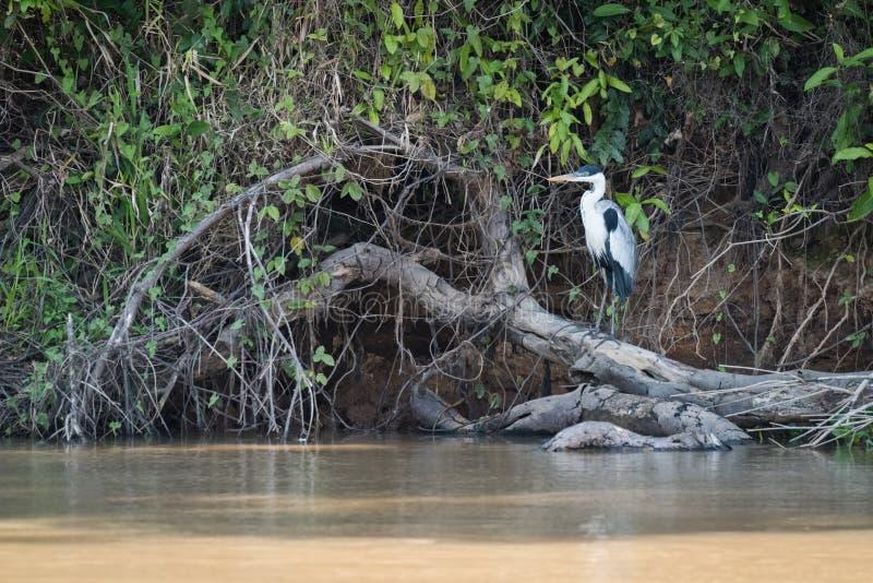Garça-real de Cocoi empoleirada no log ao lado do rio fotografia de stock