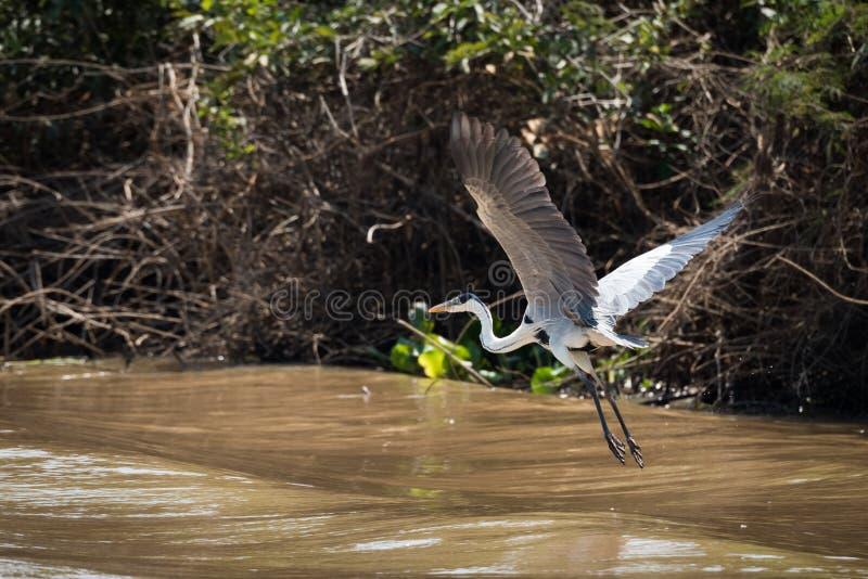 Garça-real de Cocoi que voa sobre o rio ao lado do banco imagens de stock royalty free