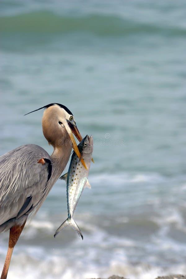 Garça-real de grande azul com peixes foto de stock royalty free