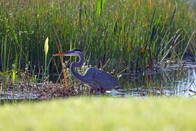 Garça-real de grande azul em um pântano imagens de stock