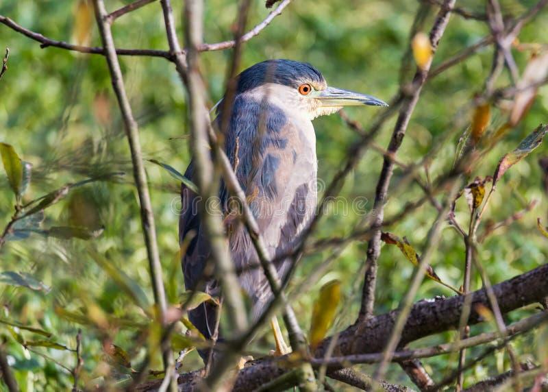 Garça-real de grande azul juvenil empoleirada em uma árvore imagem de stock royalty free