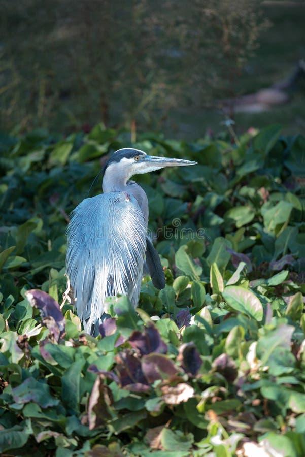 Garça-real de grande azul que vadeia e que pesca na linha costeira do lago fotografia de stock royalty free