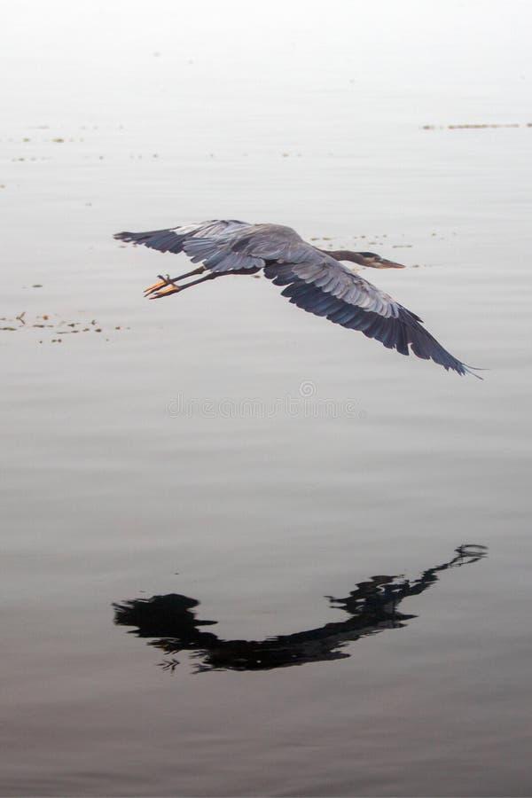 Garça-real de grande azul que voa baixo sobre a baía de Morro na costa central de Califórnia na baía Califórnia EUA de Morro imagem de stock royalty free