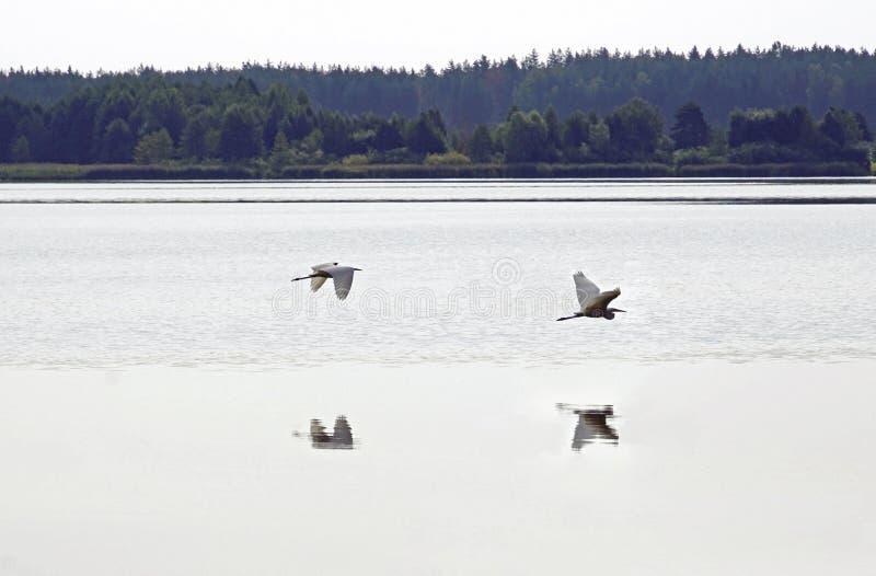 Garça-real de grande branco Dia de verão em August Lake pássaros Água e reflexão imagem de stock
