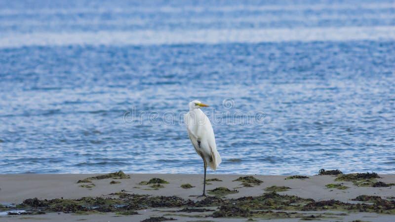 Garça-real de grande branco ou grande egret, Ardea alba, retrato do close-up na costa de mar com fundo do bokeh, foco seletivo, D imagens de stock