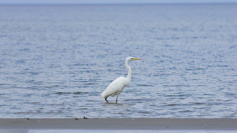 Garça-real de grande branco ou grande egret, Ardea alba, retrato do close-up na costa de mar com fundo do bokeh, foco seletivo, D imagem de stock royalty free