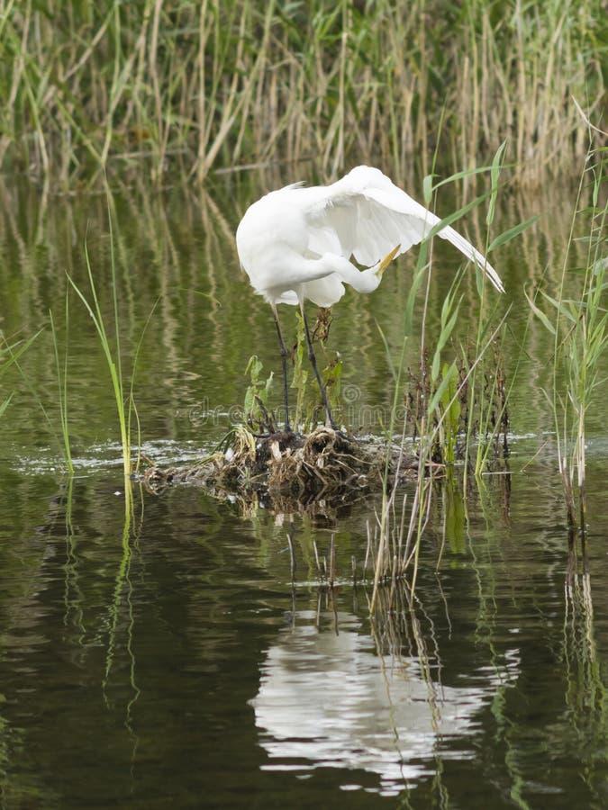 Garça-real de grande branco ou grande egret, Ardea alba, limpando seu retrato do close-up da pena com o fundo do bokeh fotografia de stock