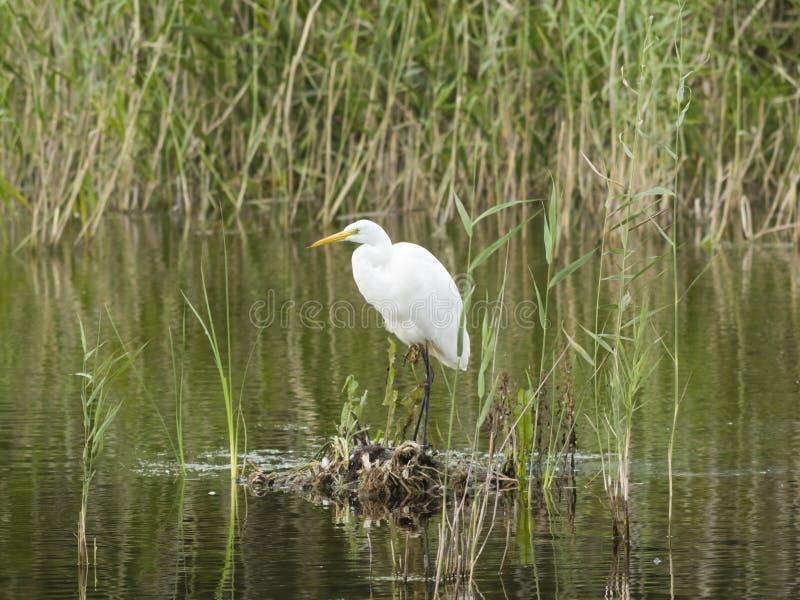 Garça-real de grande branco ou grande egret, Ardea alba, retrato do close-up na ilha pequena no lago com fundo do bokeh fotografia de stock