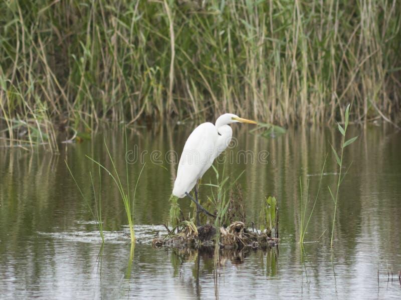 Garça-real de grande branco ou grande egret, Ardea alba, retrato do close-up na ilha pequena no lago com fundo do bokeh imagem de stock royalty free