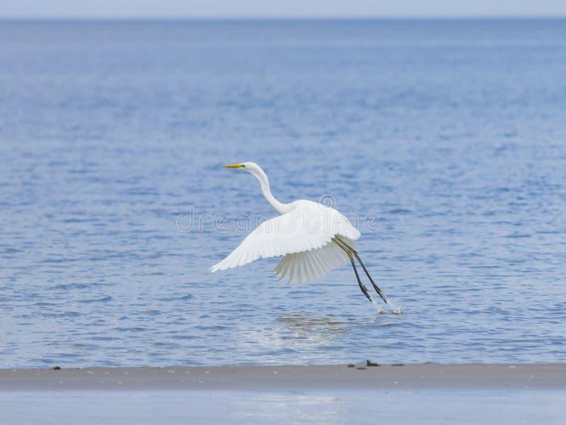 A garça-real de grande branco ou o grande egret, Ardea alba, decolam na costa de mar com fundo do bokeh, foco seletivo, DOF raso imagem de stock royalty free