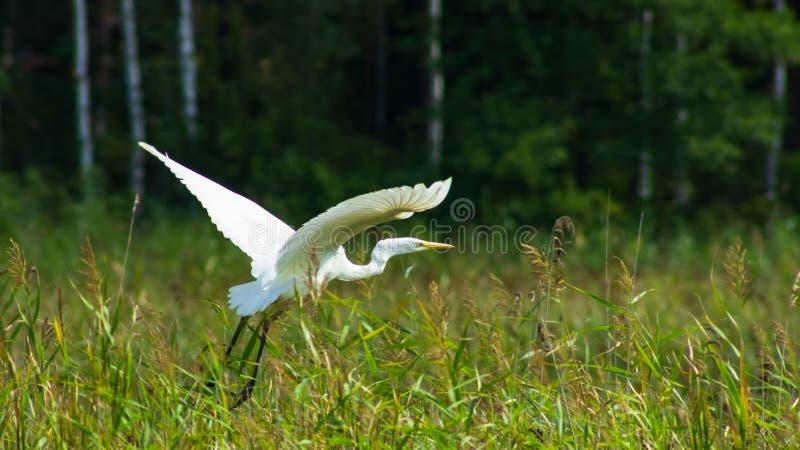A garça-real de grande branco ou o grande egret, Ardea alba, decolam o retrato do close-up com fundo do bokeh, foco seletivo fotos de stock royalty free