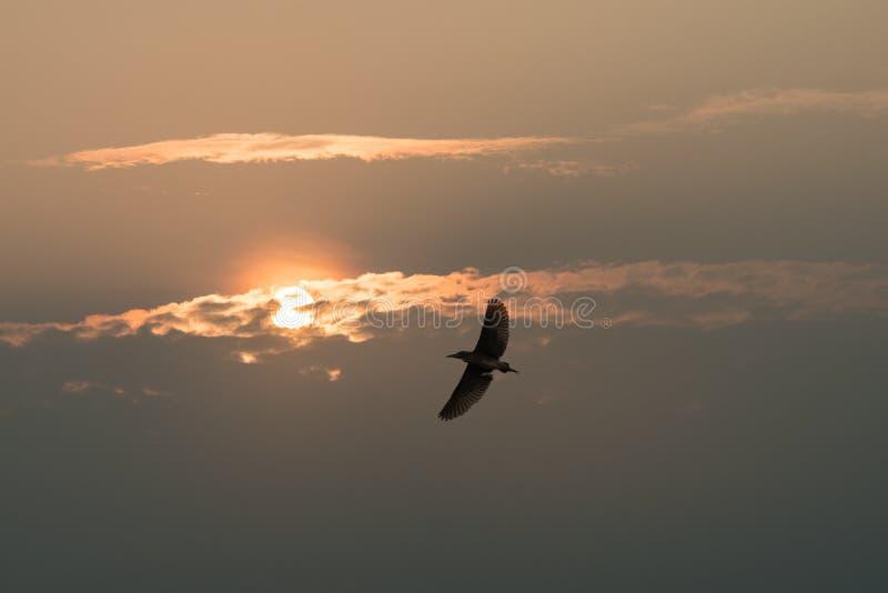 Garça-real de noite no céu do por do sol fotografia de stock