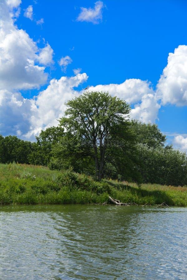 A garça-real do rio senta-se em uma árvore alta no banco do aga do rio fotos de stock royalty free