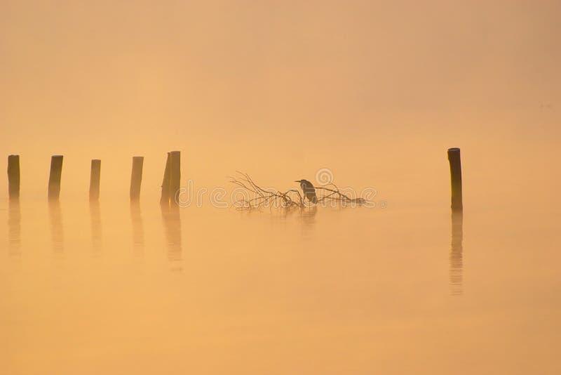 Garça-real em Misty Autumn Morning fotografia de stock