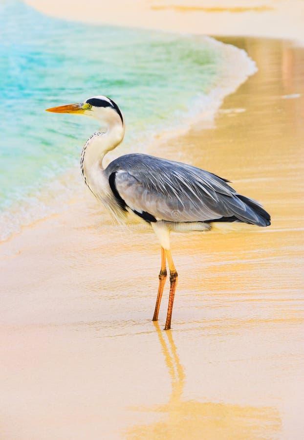 Garça-real em uma praia imagens de stock