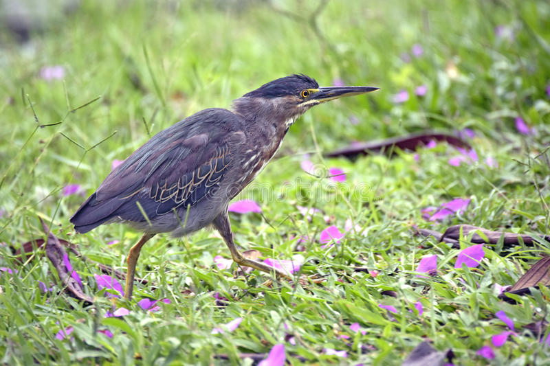 Download Garça-real Estriado Ou Garça-real Dos Manguezais Foto de Stock - Imagem de selvagem, pássaro: 65575304
