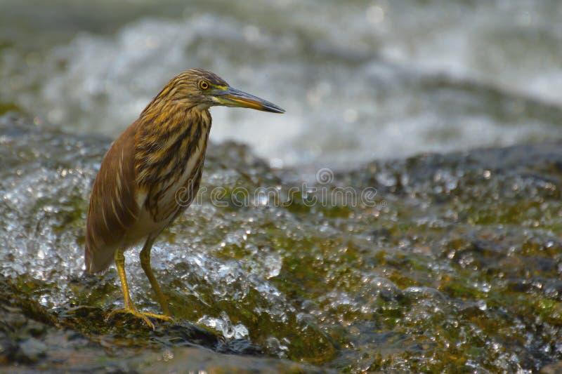 Garça-real indiana da lagoa perto de Sangli, Maharashtra imagem de stock royalty free