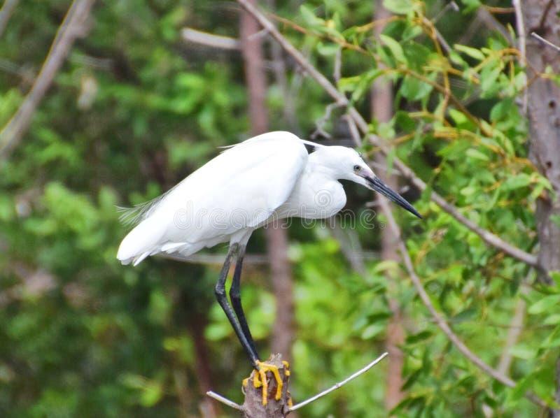 Garça-real na floresta dos manguezais fotografia de stock