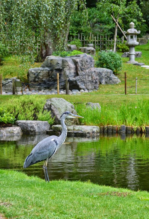 Garça-real no jardim japonês Holland Park London foto de stock