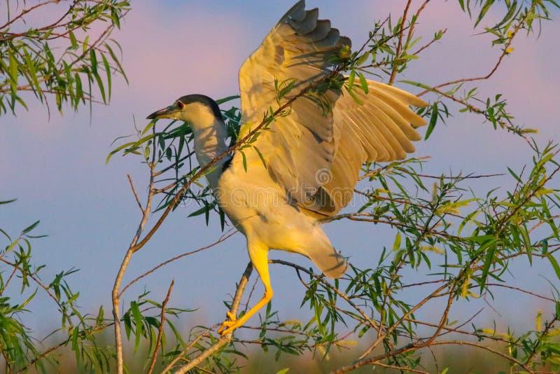 Garça-real Preto-coroada em Florida imagem de stock