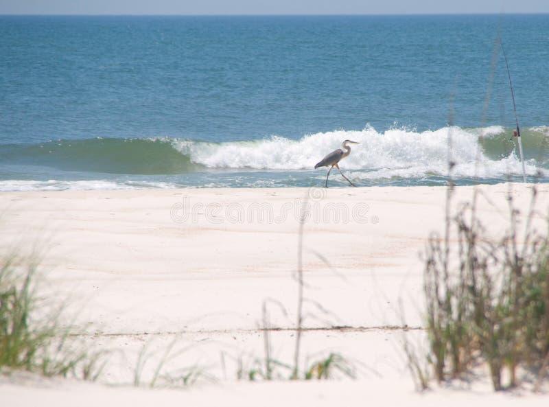 Garça-real que anda na praia imagem de stock