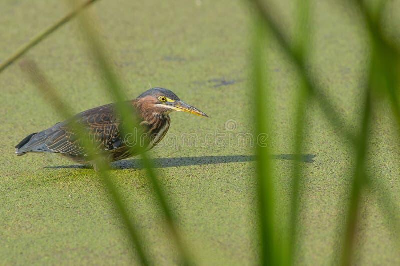 Garça-real verde na água coberta com as sementes verdes atrás das gramas verdes/juncos altos - a zona sujeita a inundações do rio imagem de stock royalty free