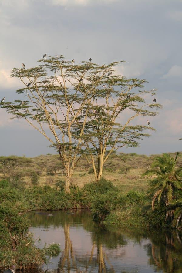 Garças-reais na árvore com reflexão na lagoa fotos de stock