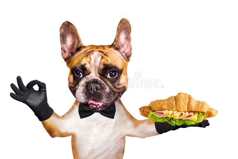 Garçom engraçado do buldogue francês do gengibre do cão em um laço preto para guardar um croissant com presunto, queijo, salada e foto de stock royalty free