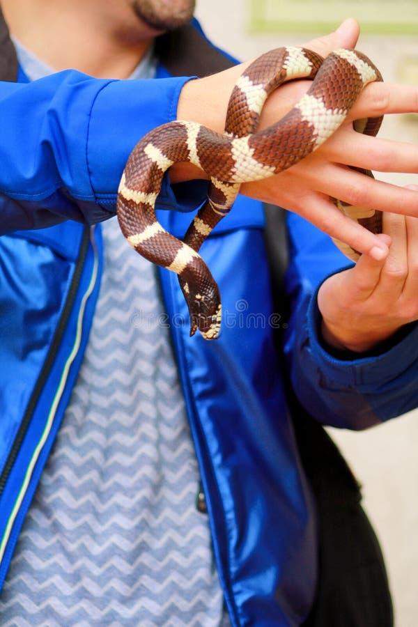 Garçon avec des serpents L'homme se tient dans le genre commun de getula de Lampropeltis de serpent de roi de reptile de mains de photos stock