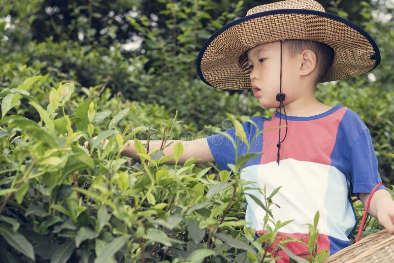 Garçon plumant des feuilles de thé photo stock