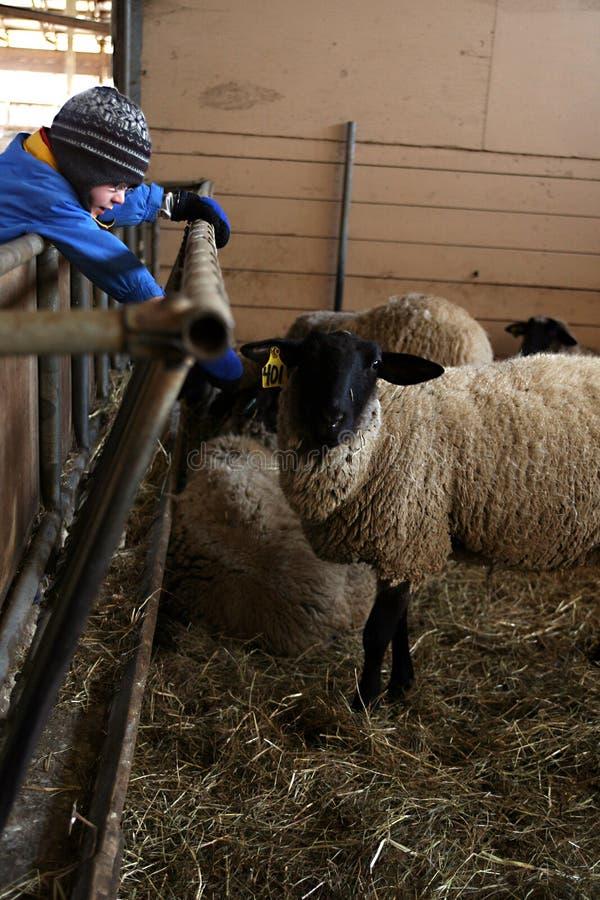 Garçon se penchant pour toucher des moutons image stock