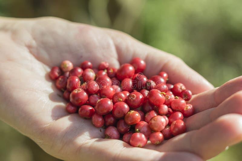 Garść cranberries zdjęcie royalty free