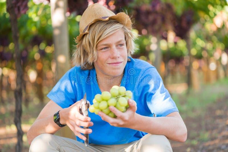 Gar?on dans le chapeau et le T-shirt bleu moissonnant les raisins m?rs image stock
