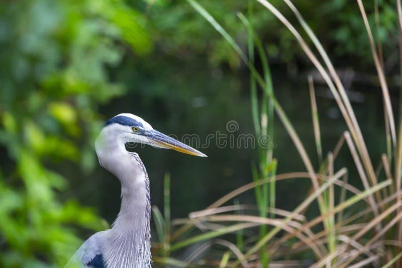 Gar?a-real azul Florida de Herodias do Ardea azul da gar?a-real grande imagens de stock royalty free