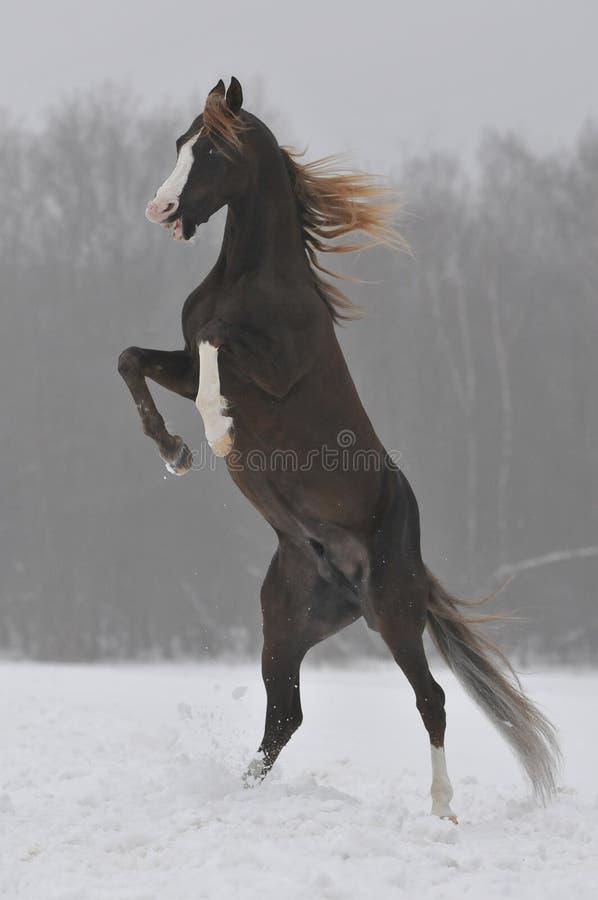 Garanhão árabe imagens de stock royalty free