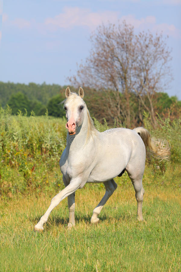 Garanhão árabe branco foto de stock