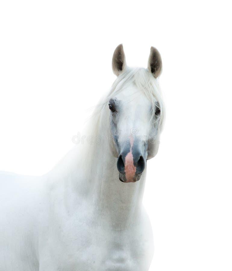 Garanhão árabe branco da neve fotografia de stock