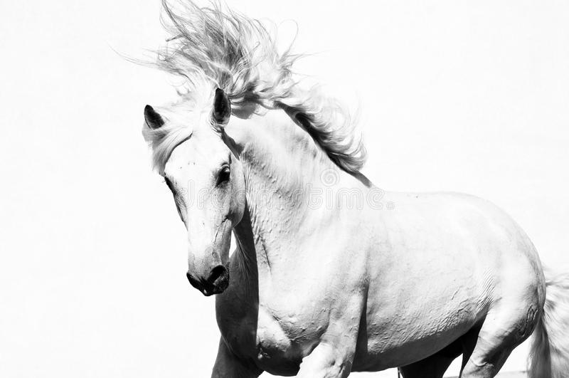 Garanhão árabe branco do cavalo isolado foto de stock