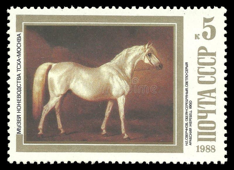 Garanhão árabe Luz-cinzento de pintura foto de stock