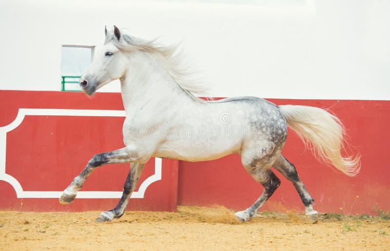 Garanhão andaluz branco de corrida na arena do touro foto de stock
