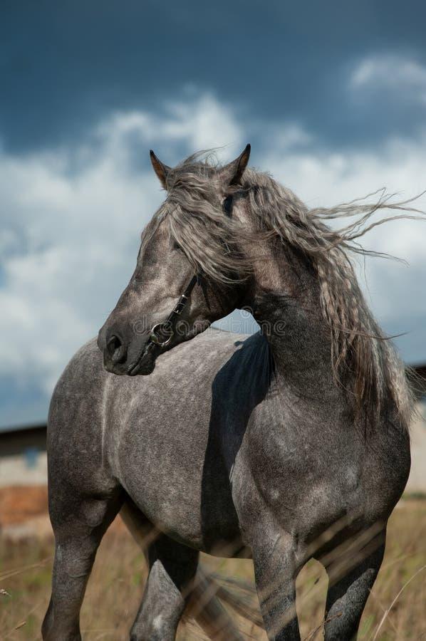Garanhão andaluz cinzento bonito foto de stock royalty free