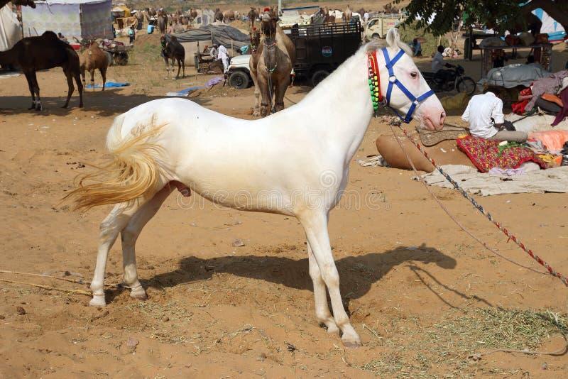 Garanhão branco no camelo de Pushkar justo imagens de stock royalty free